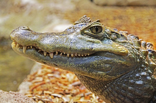 http://swiss-days.ru/wp-content/uploads/alligator-1579916_640.jpg