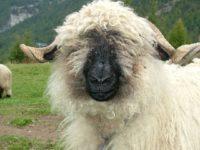 Овца. Кантона Вале.  Автор Websi / pixabay.com