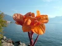 Цветок на берегу озера. Монтрё. Швейцария.  Автор Websi / pixabay.com