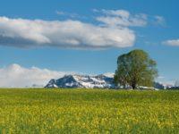 Дерево на рапсовом поле. Швейцария. Автор Ralf Kunze / pixabay.com